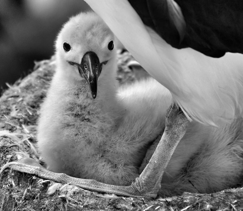 Baby albatross in the nest Animal Themes Bird Animals In The Wild One Animal Young Bird Animal Wildlife No People Day Close-up Beak Young Animal Outdoors Nature Mammal Swan Albatross Baby Albatross Albatross Photography Travel Falklands Perching Togetherness