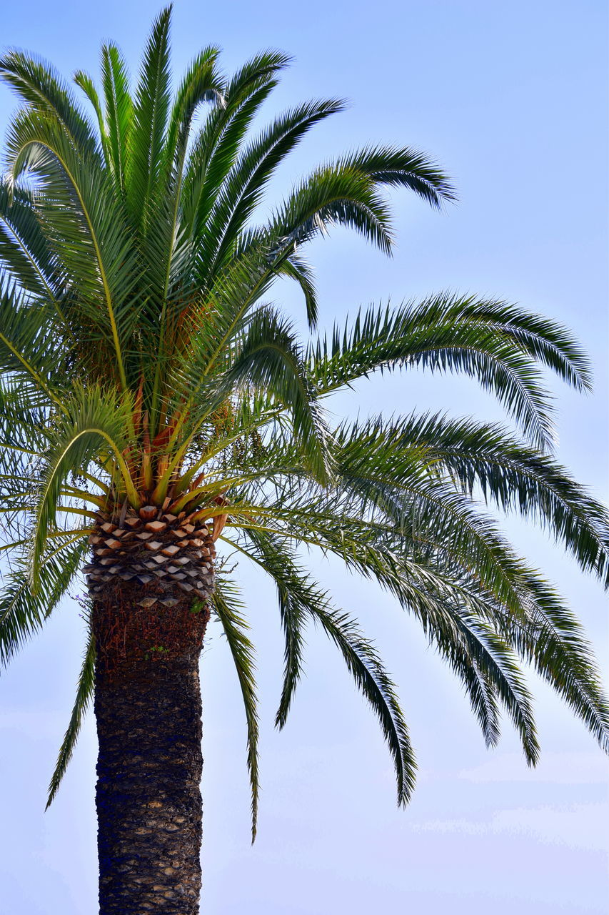 palm tree, tree, low angle view, tree trunk, growth, sky, palm frond, beauty in nature, day, outdoors, nature, no people, branch, clear sky