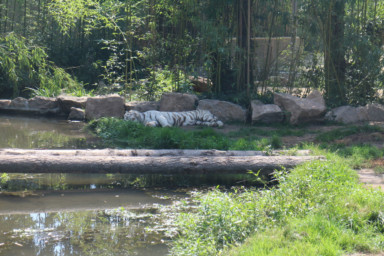 White Tiger White White Tigers  In The Trees Wildlife Park Wildlife & Nature Animal Themes Animals Animal Animals In The Wild Animal Photography Animal Wildlife Animal_collection Nature Nature Photography Nature_collection Animals In Captivity Animals Planets Animals Photography Dangerous Animals Zoo Naturelovers Always Be Cozy