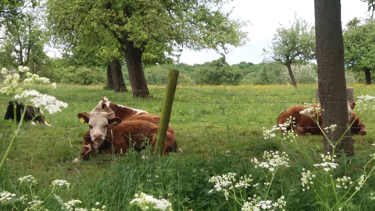 Cows in Limburg Animal Themes Countryside Grass Green Livestock No People Tranquil Scene Tree
