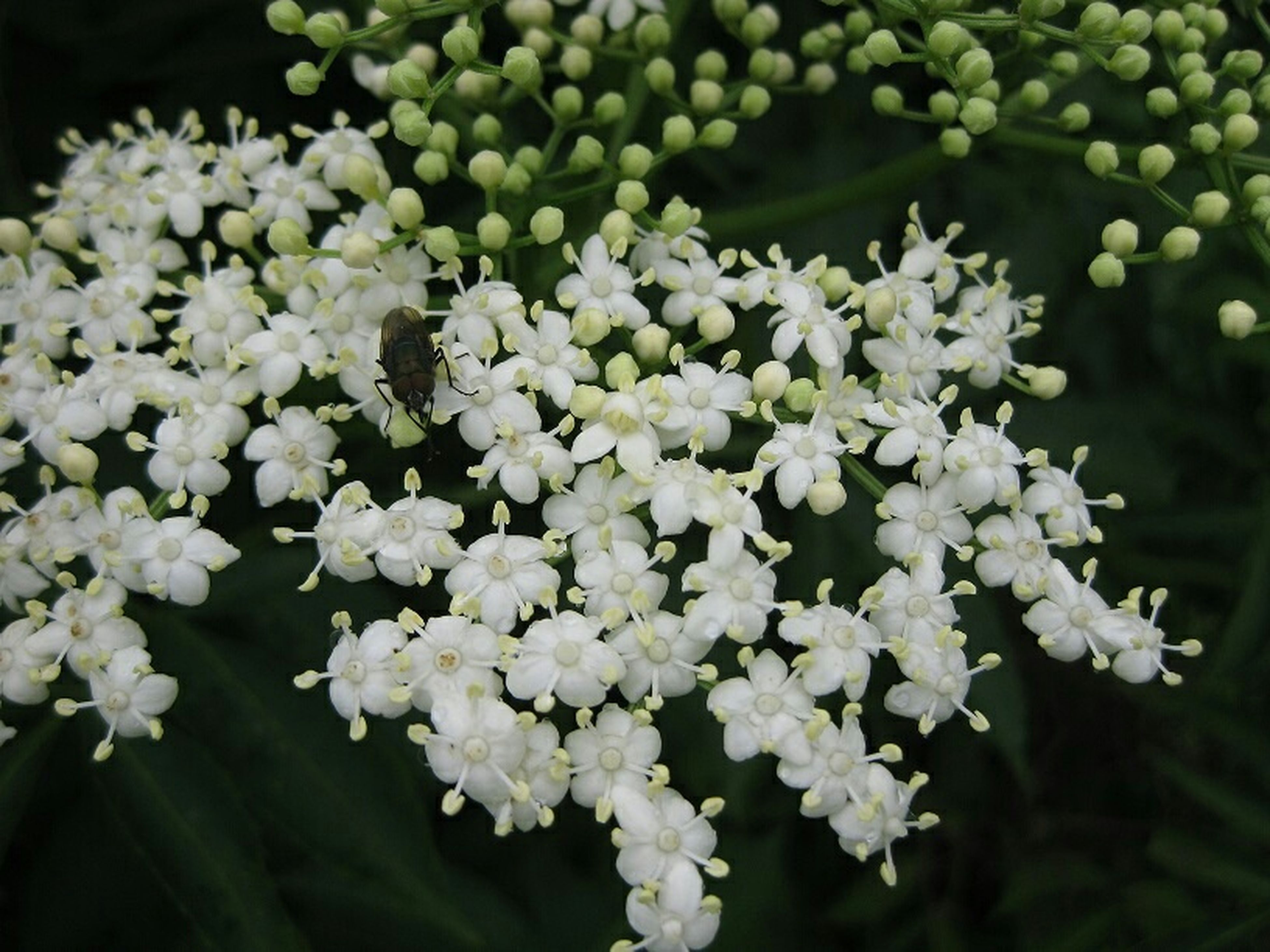 freshness, flower, growth, white color, fragility, nature, beauty in nature, close-up, plant, petal, abundance, focus on foreground, blooming, flower head, outdoors, no people, green color, leaf, selective focus, day