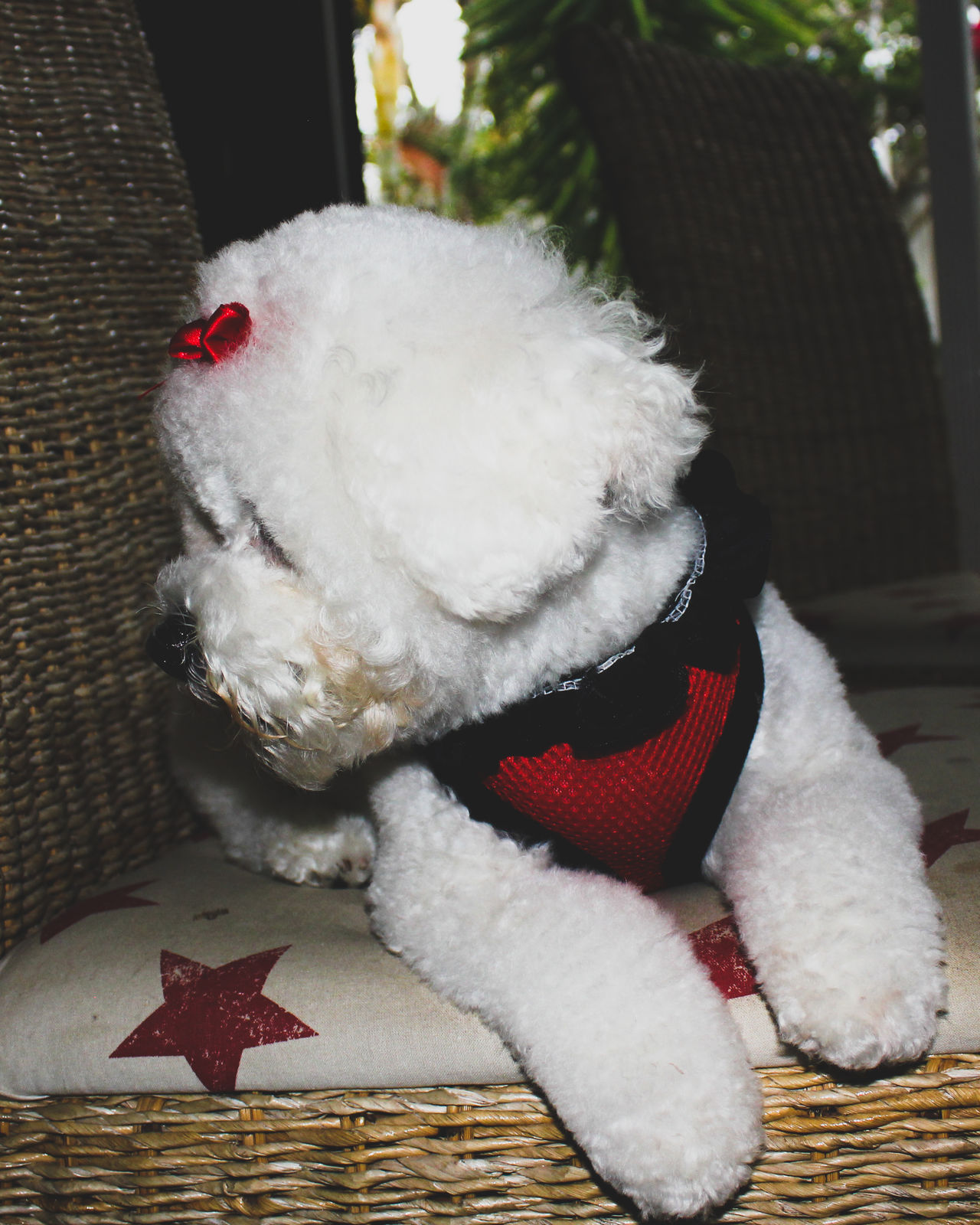 Animal Themes Bichon Bichon Frise Bichonfrise Canine Close-up Day Dog Dogs Domestic Animals Furry Friends Mammal No People One Animal Pet Pet Clothing Pet Photography  Pets