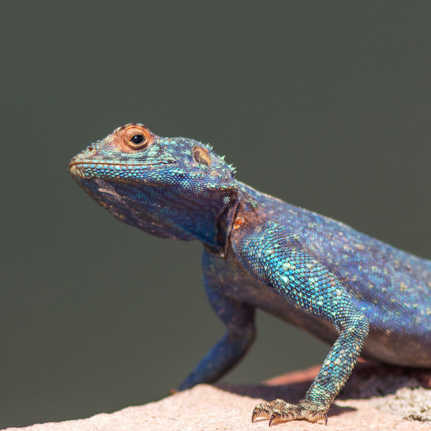 Blue headed agama portrait Animal Themes Animal Wildlife Animals In The Wild Blue Head Blue Head Agama Blue Headed Lizard Chameleon Close-up Day Lizard Nature No People One Animal Outdoors Reptile
