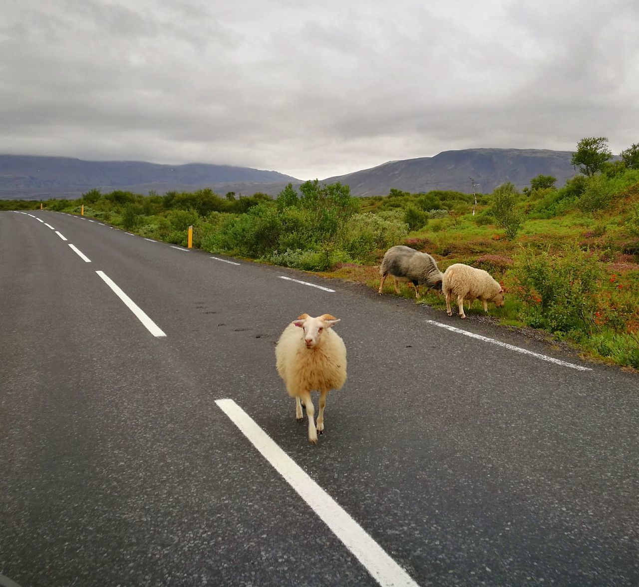 Icelandic lamb ~ Road Animal Themes Livestock Sheep Outdoors Animal Wildlife Nature Icelandic Nature Iceland Trip Travel Destinations Iceland Memories Power In Nature Cold Temperature Iceland_collection Iceland Beauty In Nature Landscape Lamb Icelandic Lamb Animal