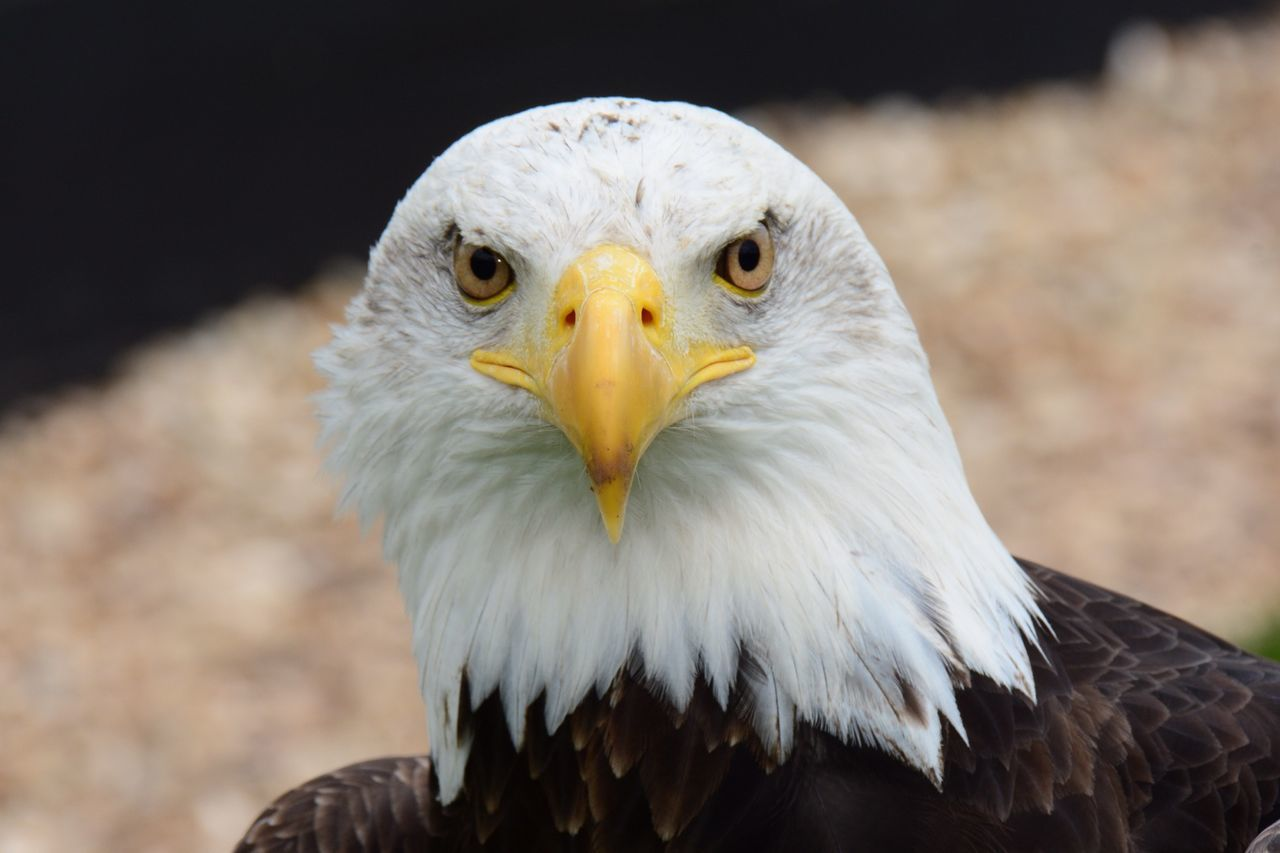 Beautiful stock photos of bald eagle, Animal Themes, Animals In The Wild, Bald Eagle, Bird