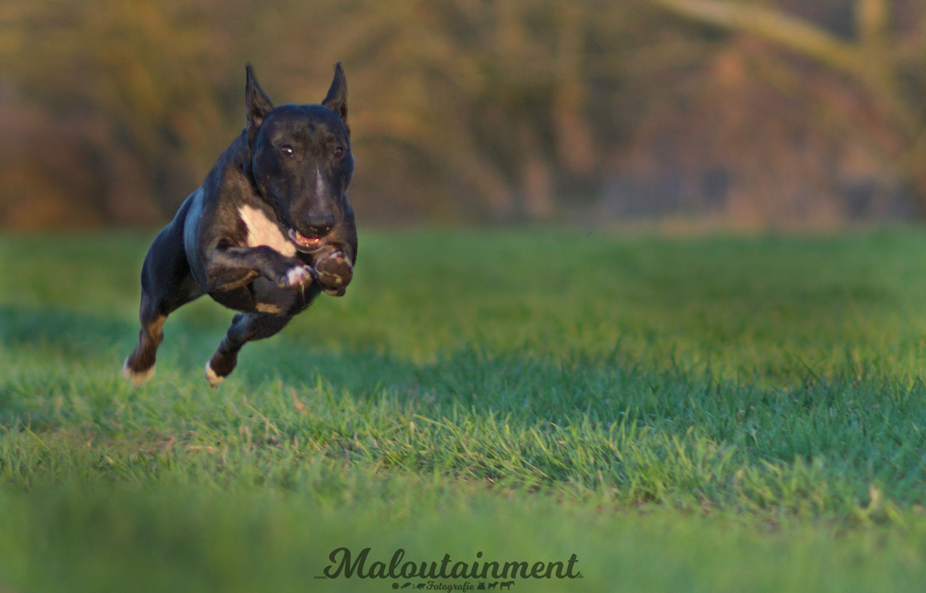 domestic animals, dog, grass, pets, animal themes, field, one animal, running, day, mammal, green color, outdoors, nature, no people, full length