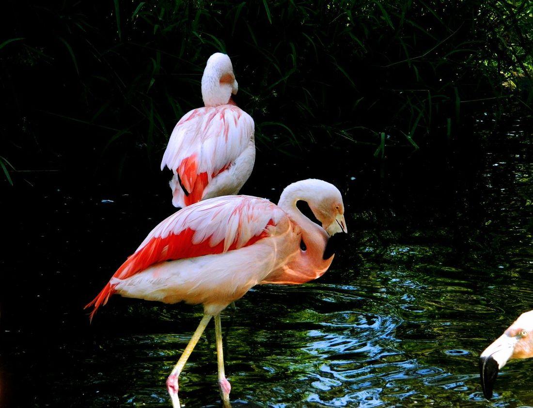 Pink Flamingos Photo Bomb Hahahaha 😂😂😂😂😂 Hanging Out Taking Photos Check This Out Relaxing Enjoying Life Enjoying The View EyeEm Best Shots Eyemanimals Eyemphotography Enjoying The Moment Eyembirds. Birds_collection Outdoor Photography Love Take Photos .