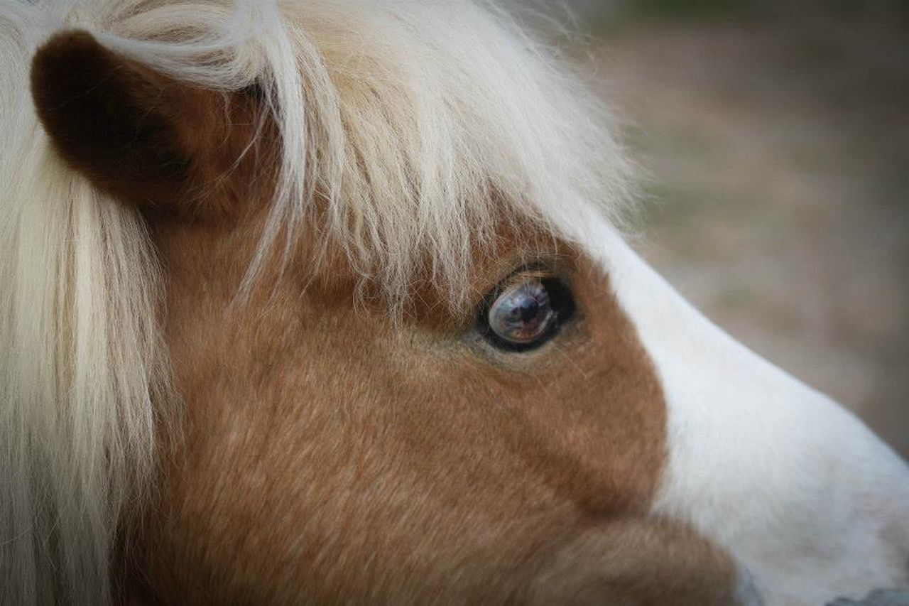 Rosie Çøłôūrfûłł Höršęś EyeEm Animal Lover Family Pet Pony I Love Ponies. Horses I Love Horses Beauty Eye4photography  Miniature Horse