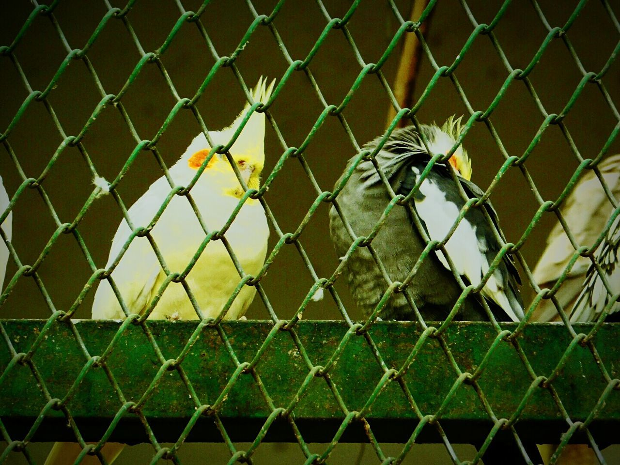 Love Birds Caged Sadness😢 Looking For Freedom Wildlife Photography