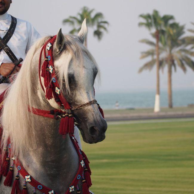 Doha Corniche Qatar Cavalry Arabian Horse Qatarlife Doha Qatar Taking Photos