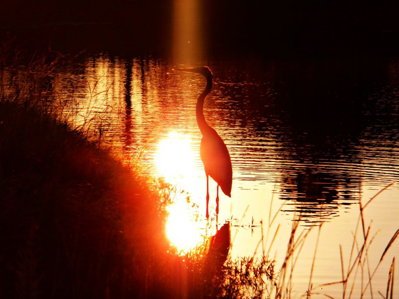 reflection, sunset, lake, water, sun, sunlight, nature, no people, outdoors, silhouette, scenics, beauty in nature, swan, flamingo, swimming, bird, sky, day