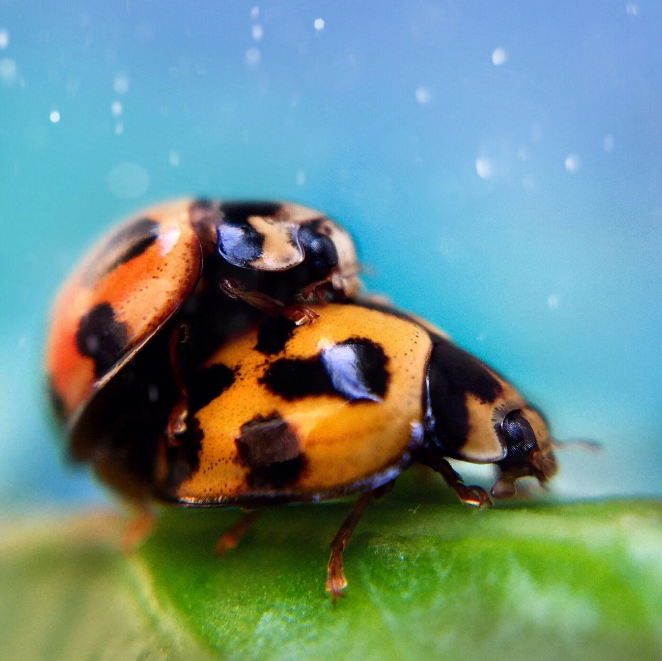 Ladybirds mating. Macro Olloclip Ladybug Ladybird Mating IPS2016Closeup