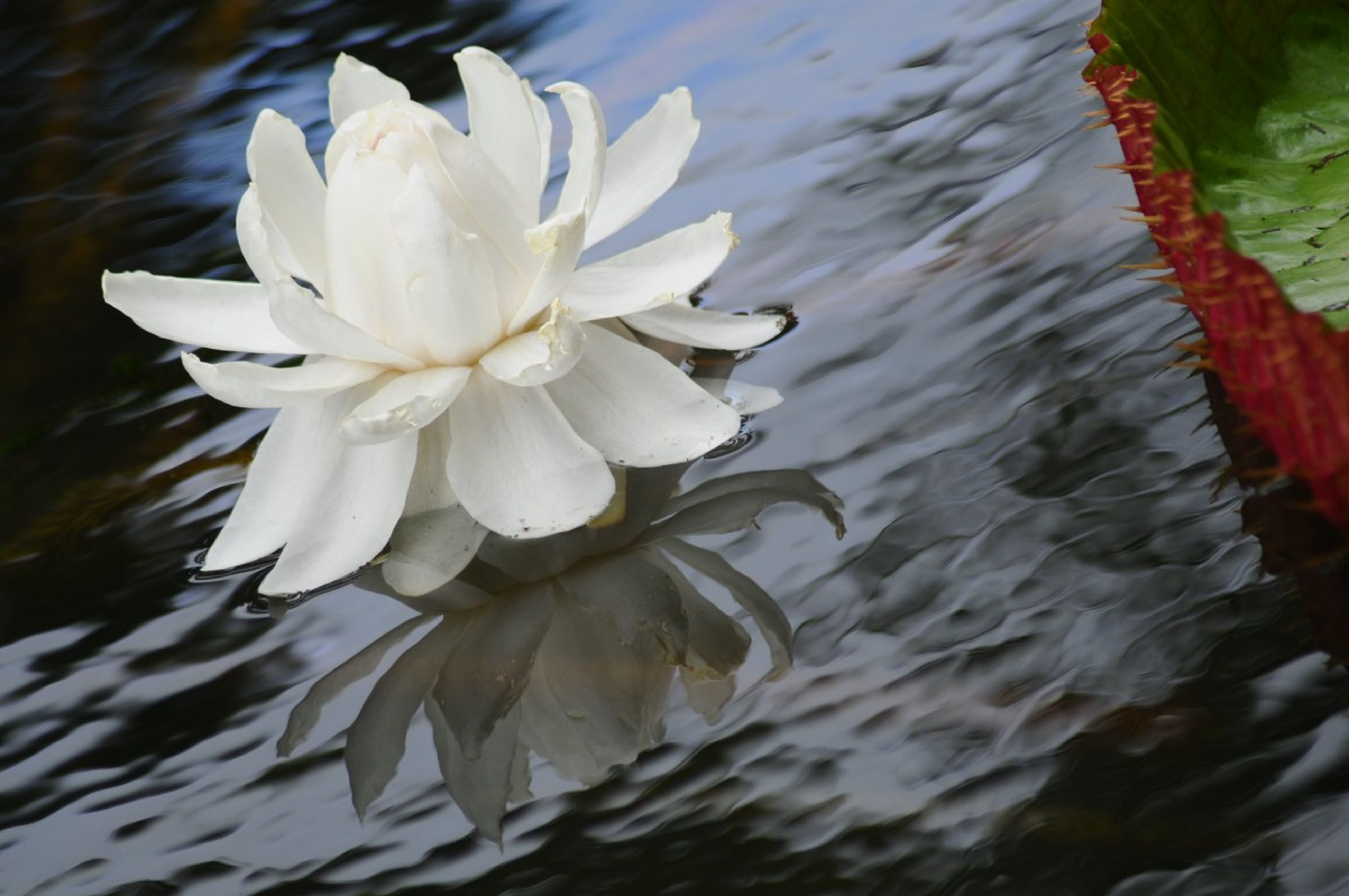flower, petal, water, white color, freshness, floating on water, pond, flower head, fragility, beauty in nature, lake, high angle view, nature, water lily, reflection, close-up, single flower, waterfront, outdoors, blooming