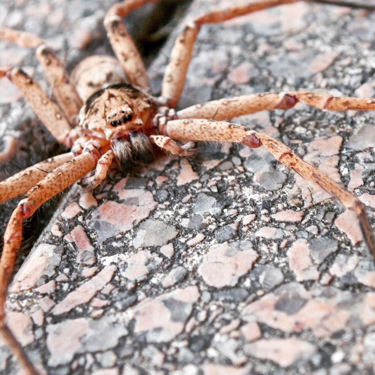 Huntsman HuntsmanSpider Eightleggedfreaks Spider Incy Wincy First Eyeem Photo