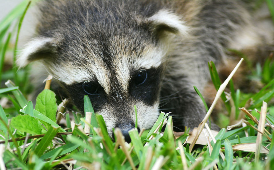 Animal Head  Animal Themes Animal_collection Animals In The Wild Baby Raccoon Baby Raccoons Close-up Focus On Foreground Grass Mammal Nature Nature_collection One Animal Raccoon