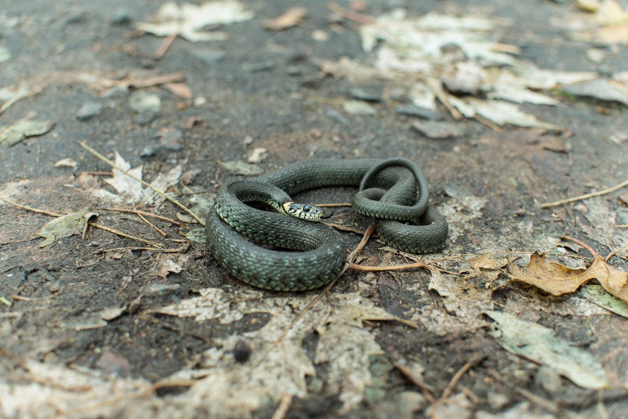 Animal Themes Animals In The Wild Nature One Animal Reptile Snake