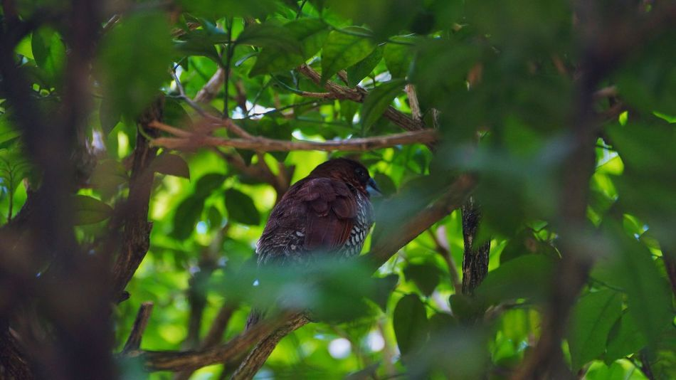 Animal Themes Bird One Animal Animals In The Wild Day Nature Leaf Green Color Tree Outdoors Perching No People Growth Animal Wildlife Branch Sparrow Beauty In Nature Close-up Scaly Breasted Munia Munia