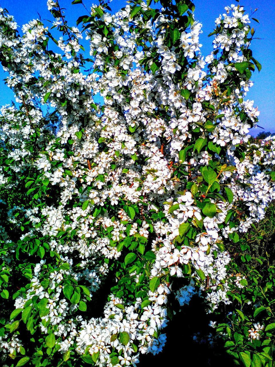 flower, growth, blossom, nature, tree, fragility, springtime, beauty in nature, botany, apple blossom, low angle view, branch, freshness, spring, day, outdoors, no people, flower head, close-up