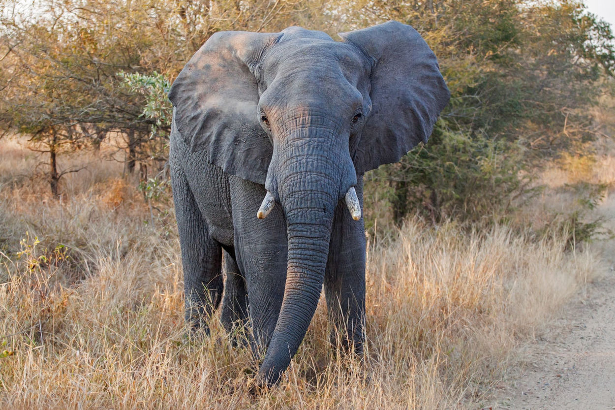 African Elephant, Kruger national park, South Africana Africa Animal BIG Elephant Herbivore Herbivorous Huge Kruger Kruger Park Krüger National Park  Loxodonta Africana Safari Savanna Savannah South Africa Tusks Wildlife