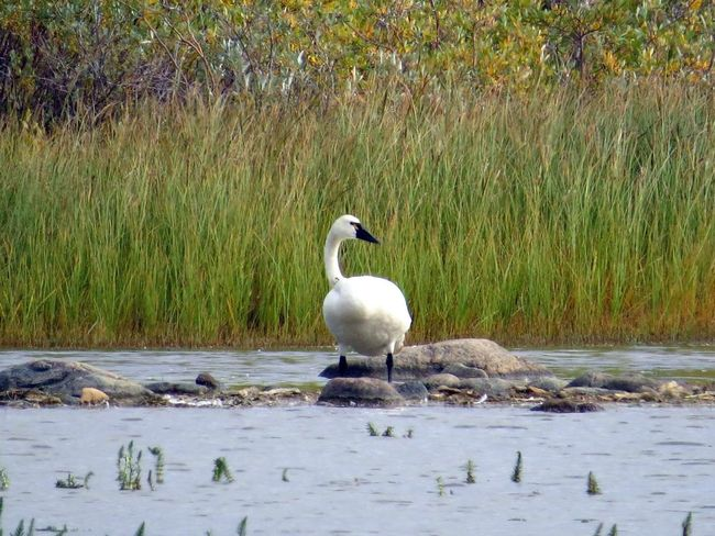 Tundra swan Tundra Tundra Swans Northern Manitoba