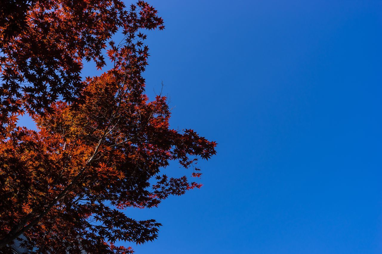 Tree Low Angle View Nature Blue Autumn Growth Leaf Beauty In Nature Clear Sky Day Branch No People Outdoors Sky Photography Paju, S. Korea