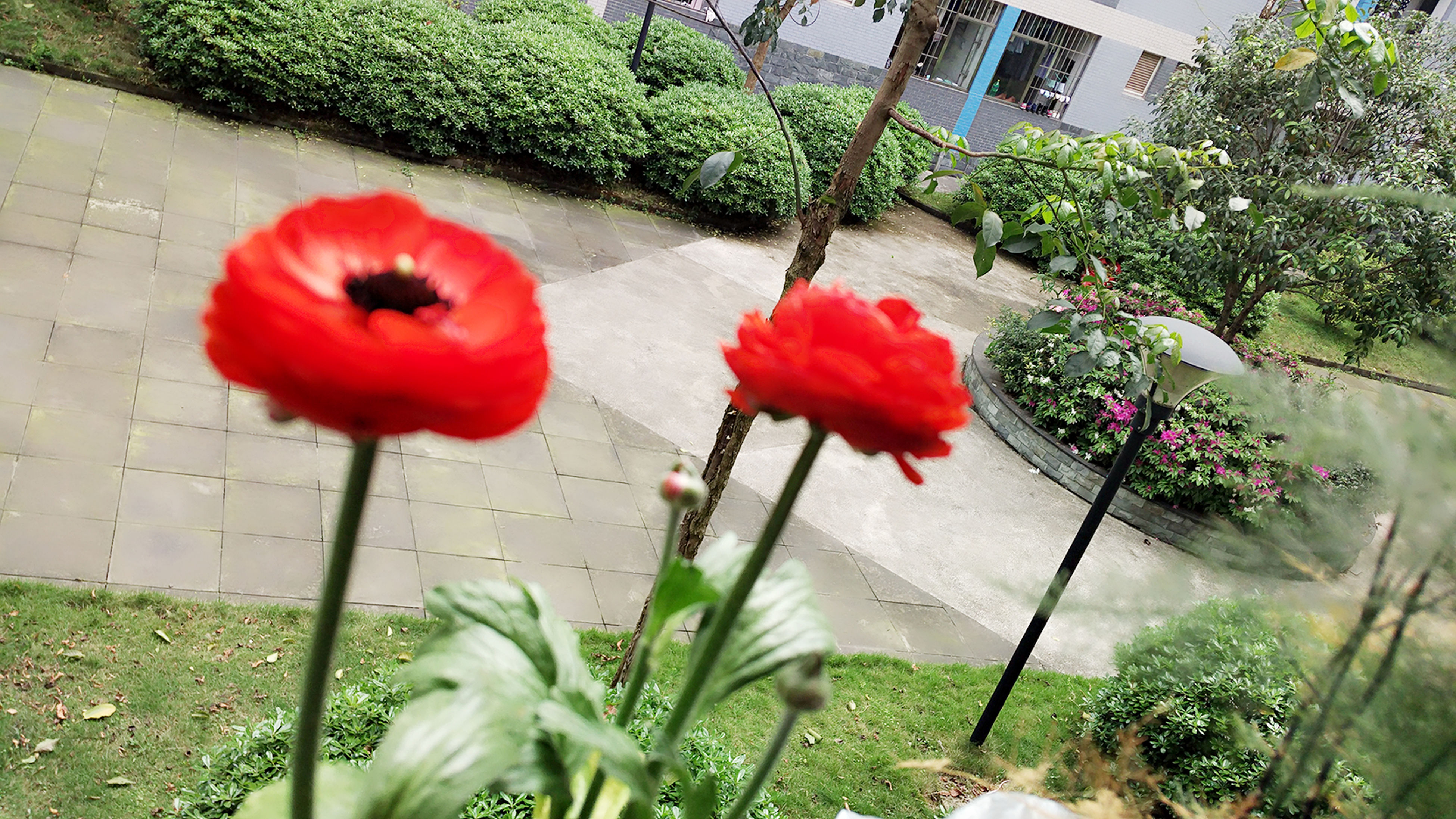 flower, red, plant, growth, fragility, freshness, petal, flower head, leaf, front or back yard, built structure, beauty in nature, nature, blooming, building exterior, architecture, day, stem, in bloom, single flower