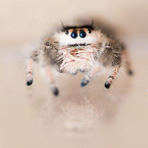 Arachnid Beige Close Up Detail Extreme Detail Eyes Jumping Spider Legs Macro Phid Phidippus Otiosus Salticidae Spider Tiny