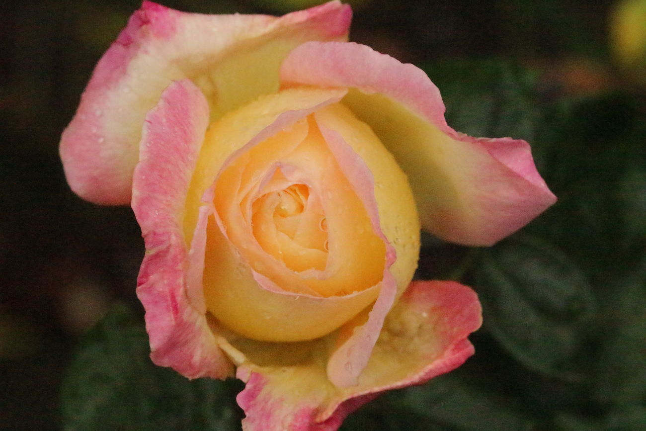 Beauty In Nature Blooming Close-up Day Flower Flower Head Focus On Foreground Fragility Freshness Growth Multiple Colors Nature No People Outdoors Petal Pink And Yellow Rosebud Pink Color Pink Rose Plant Rose - Flower Rose Flowers Rosé Yellow Rose
