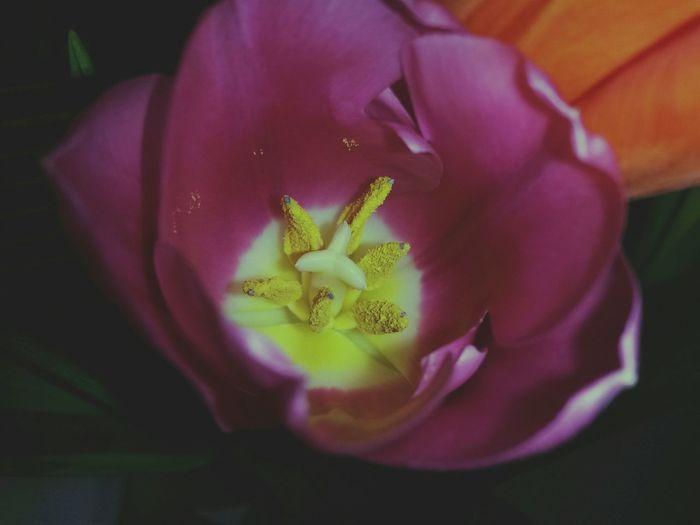 Flower Close-up Pollen Stamen Pink Flower Dark Dark Pink Dark Pink Flower Dark Background Black Background Focus On Macro Beauty Tulips🌷 EyeEm Flower EyeEm Gallery EyeEm Best Shots EyeEm Best Shots - Flowers