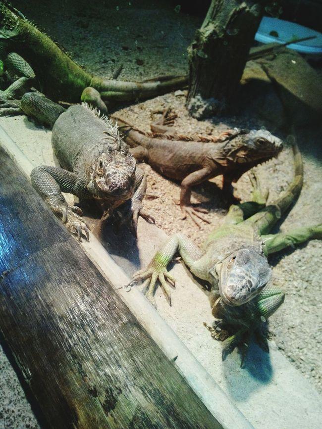 Iguanaa Animal