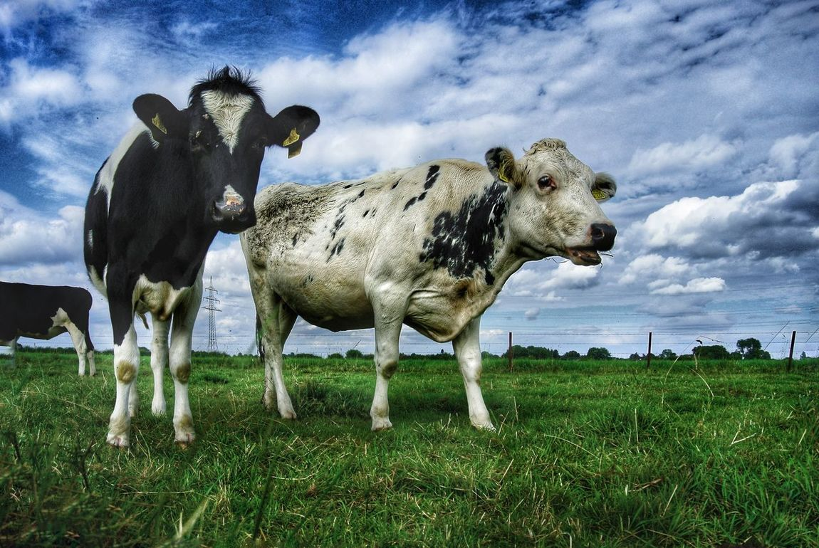 Animal Love Animal Cattle Cowlover Countryside Animals Posing Cowlove Cowportrait Animalportrait Animal Photography Animal_collection Country Life Nature Photography Cows In A Field Cows Calf Face Calf Love Calf Cow Summer