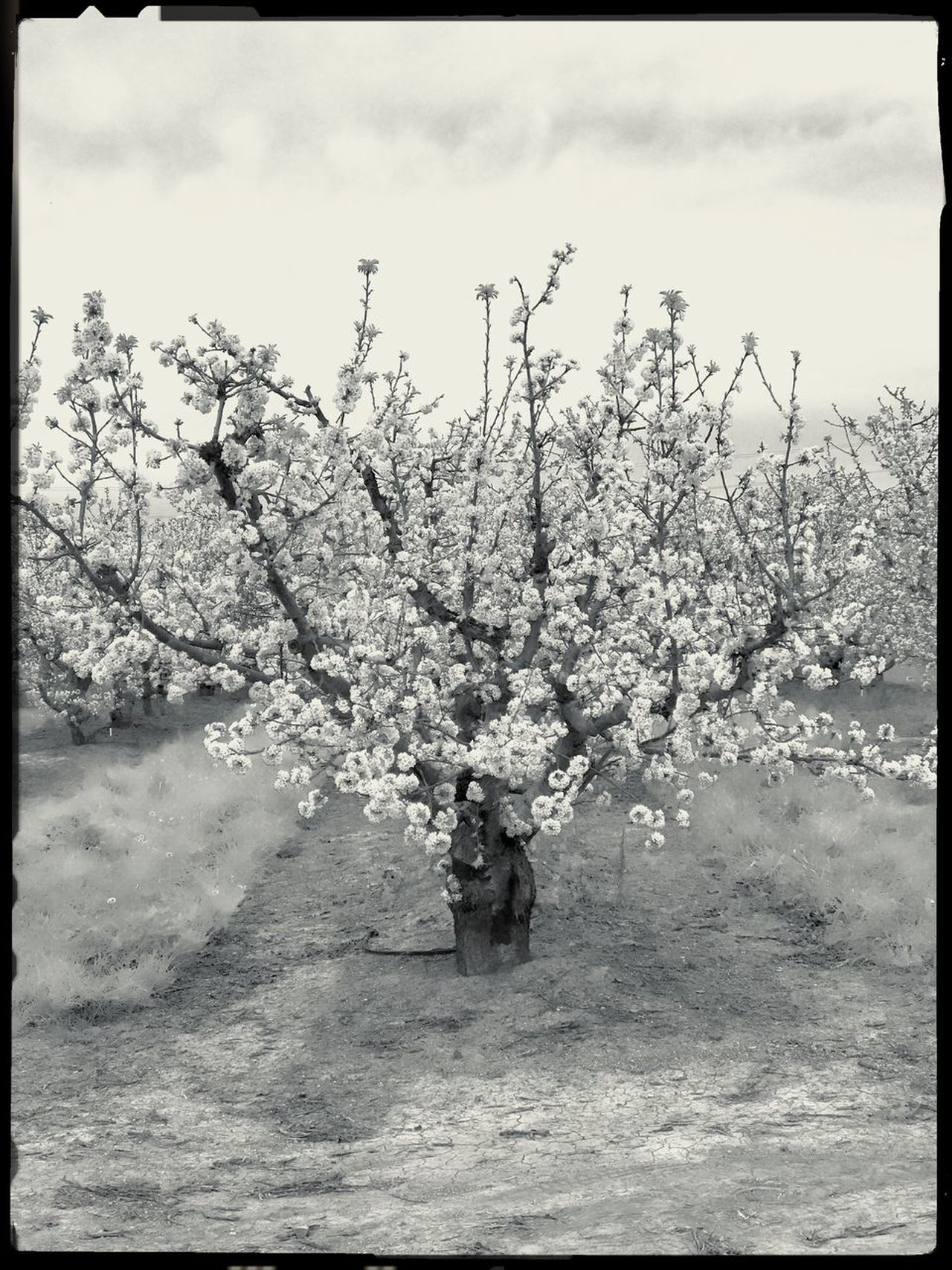 Fruit tree, Brentwood CA Hollingsworth Fine Art Photography IPhoneography Art Is Everywhere Tree