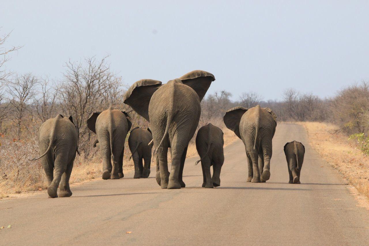 Beautiful stock photos of elefant,  African Elephant,  Animal Family,  Animal Themes,  Animal Wildlife