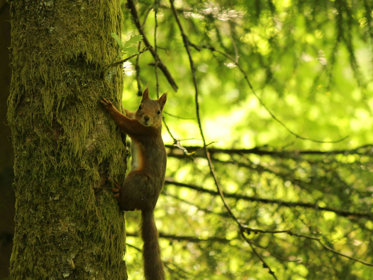 Animals In The Wild One Animal Animal Themes No People Green Color Nature Tree Animal Wildlife Outdoors Low Angle View Branch Day Close-up Mammal Squirrel Forest Moss Sweden ❤️