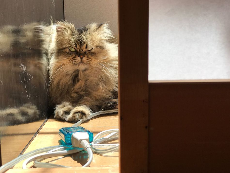 chloe Pets Persian Cat  No People Wink Wink Wink ;)