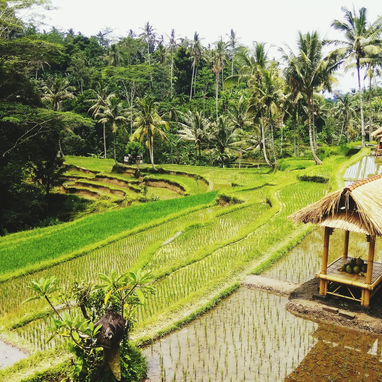 Growth Nature Green Color Beauty In Nature Tranquility Scenics Outdoors No People Ubud Ubud, Bali Balinese Culture Rice Field Rocky Temple INDONESIA