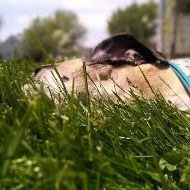 Bambi loves laying in the grass. Nofilter Googlecamera Greatdane Dog Danesofoinstagram Dane Dogsofinstagram Gotdane Fawn