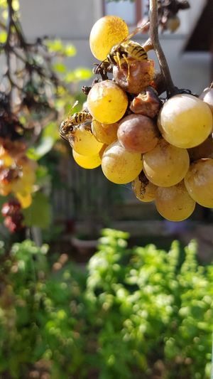 Fruit No People Close-up Growth Day Outdoors Focus On Foreground Nature Agriculture Grape Plant Food Vine - Plant Tree Bee Paint The Town Yellow