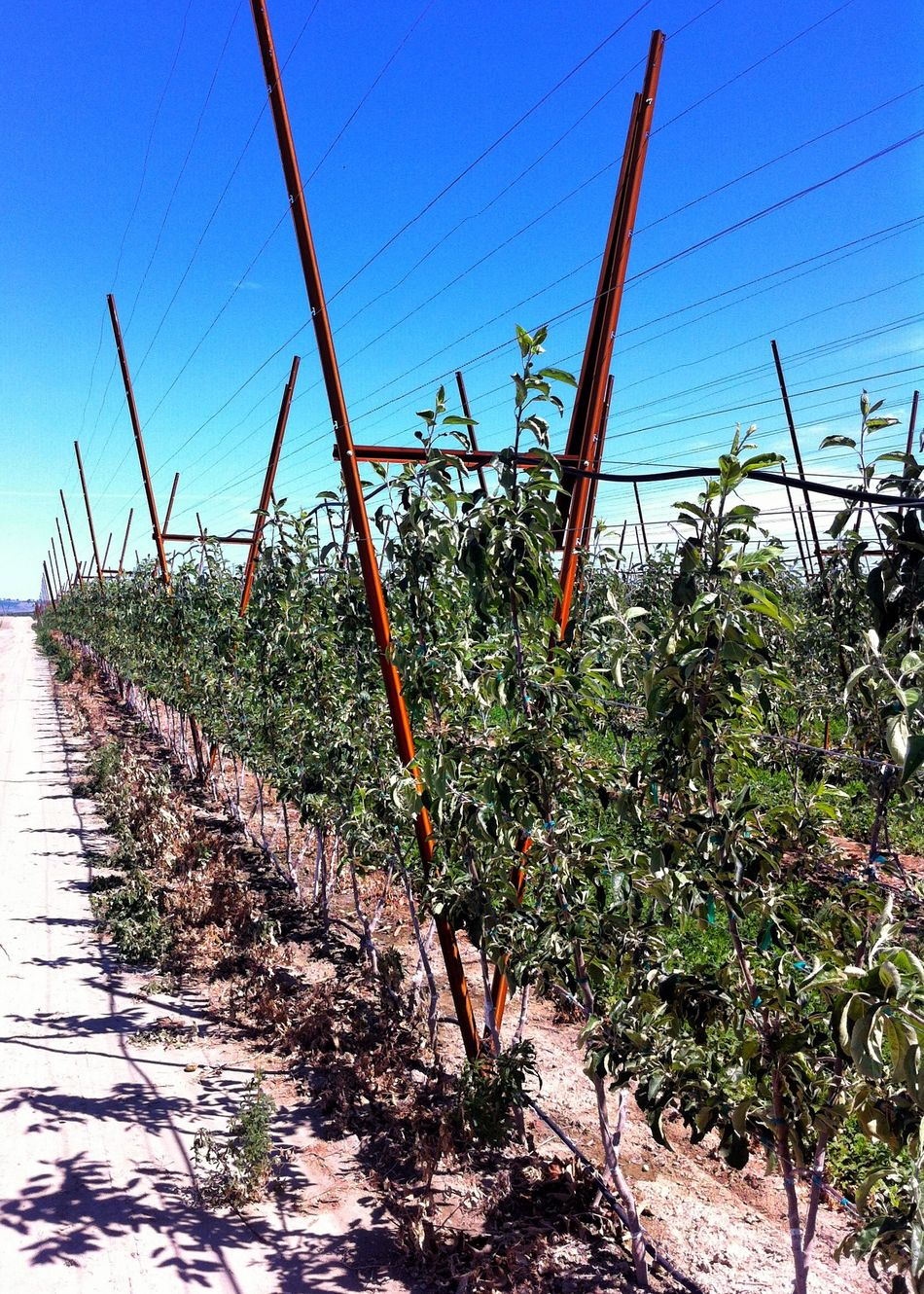 New 'high-density' apple tree production system. Apple Tree Crop Production Commercial Agriculture Training Plant Agriculture Fruit Production Farm New Technology Agricultural Technology Growth Nature Feed The World Outdoors Agriculture Efficiency No People Orchard Apple Orchard New