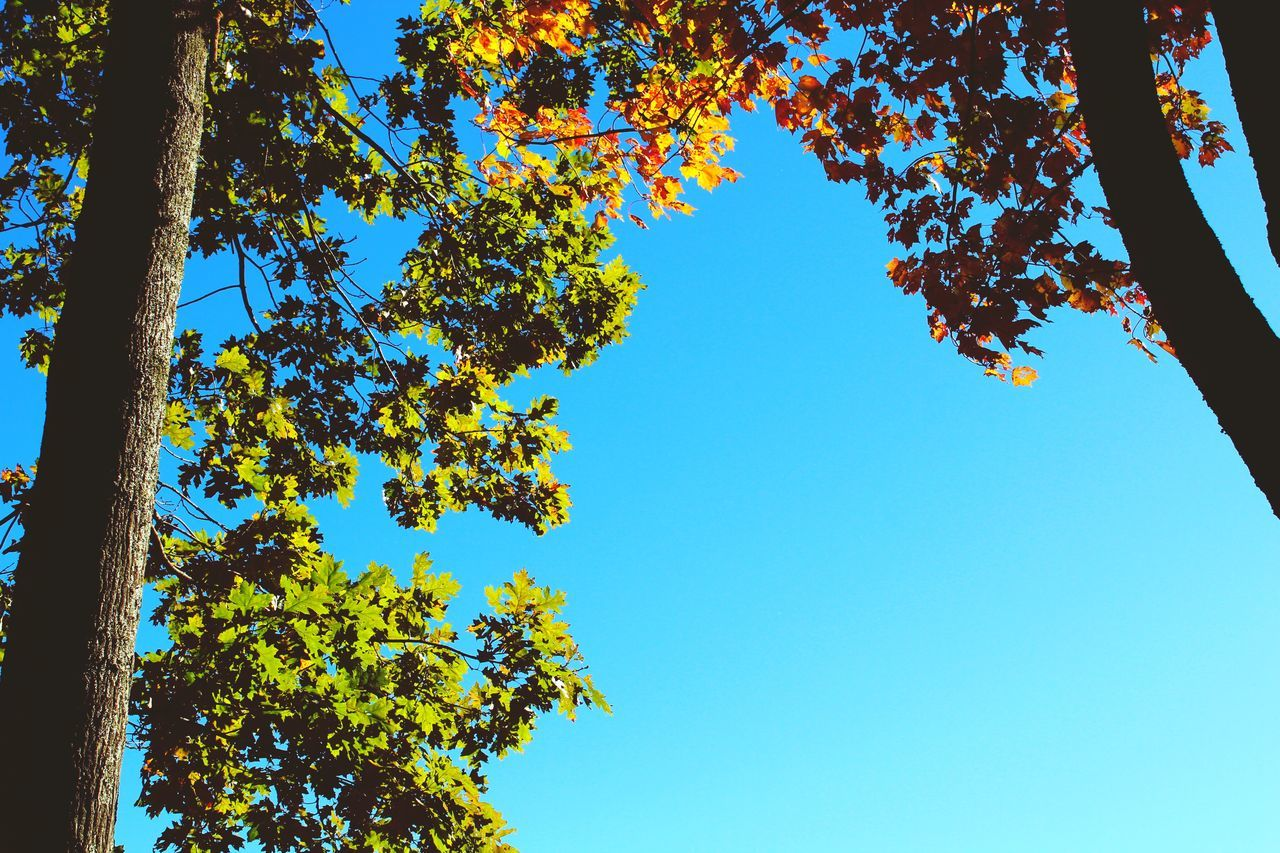 tree, nature, low angle view, growth, autumn, beauty in nature, clear sky, branch, leaf, day, no people, blue, outdoors, sky, freshness