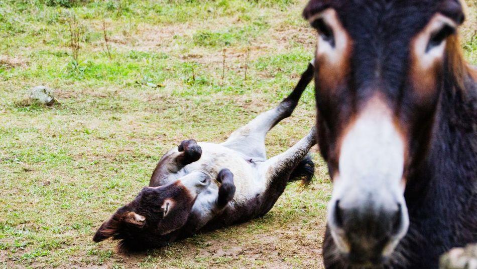 Beautiful stock photos of donkey, Animal Behavior, Animal Themes, Day, Domestic Animals