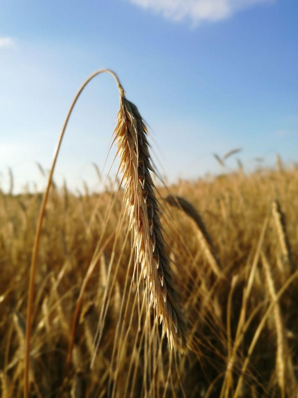 Ear Of Grain Field Summer ☀Nature Grain Field Grainfields Nature Photography Sky