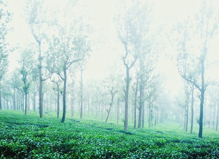 Misty Morning Nature Mist Green Nature Photography Nature_collection Teaestate