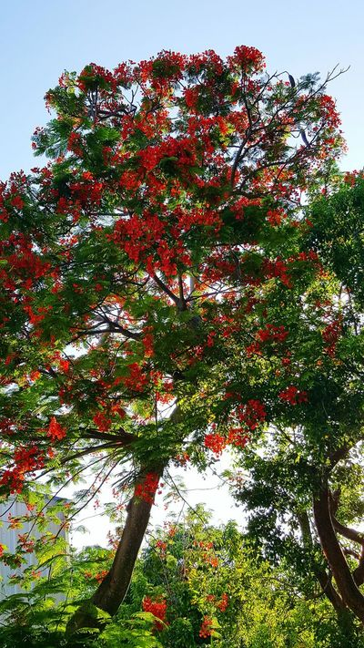 Royal Poinciana Tree And Sky Outdoors Beauty In Nature No People Tropical Climate