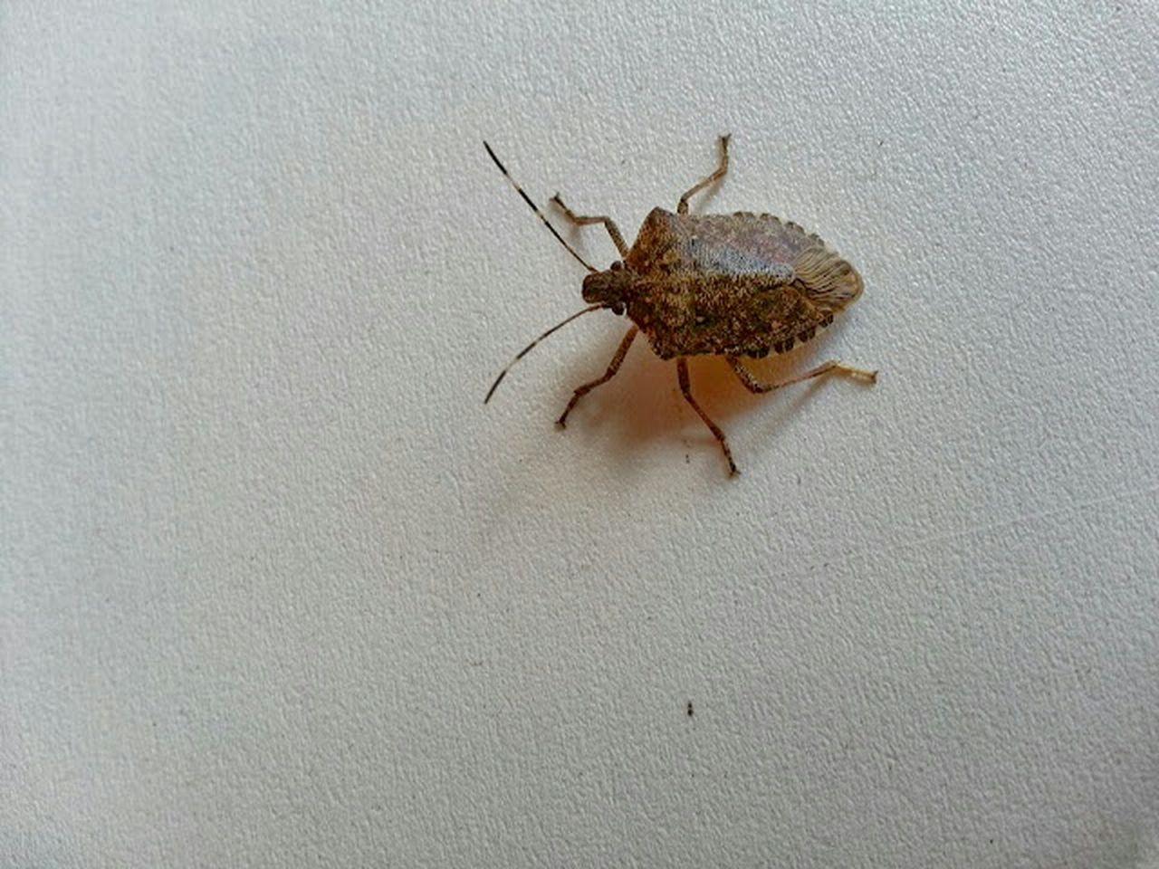 Marmorated stink bug EyeEm Best Shots Bug Stinkbug Marmorated Stinkbug Northeast Invasive Traveling Travel Entomology Pest Control Silhouette
