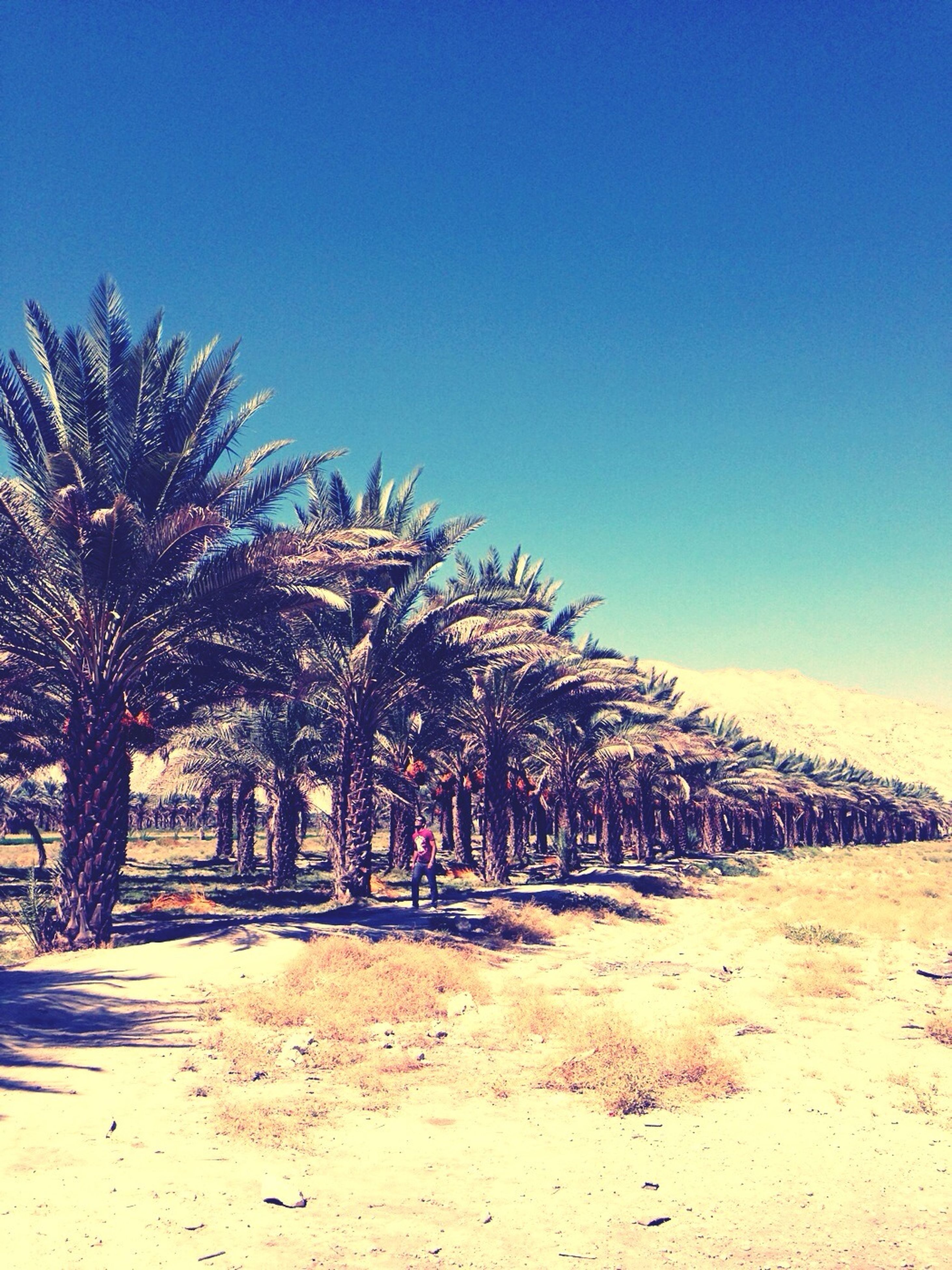 beach, clear sky, sand, palm tree, tree, tranquility, tranquil scene, blue, nature, scenics, beauty in nature, sea, shore, growth, copy space, sky, sunlight, landscape, idyllic, outdoors