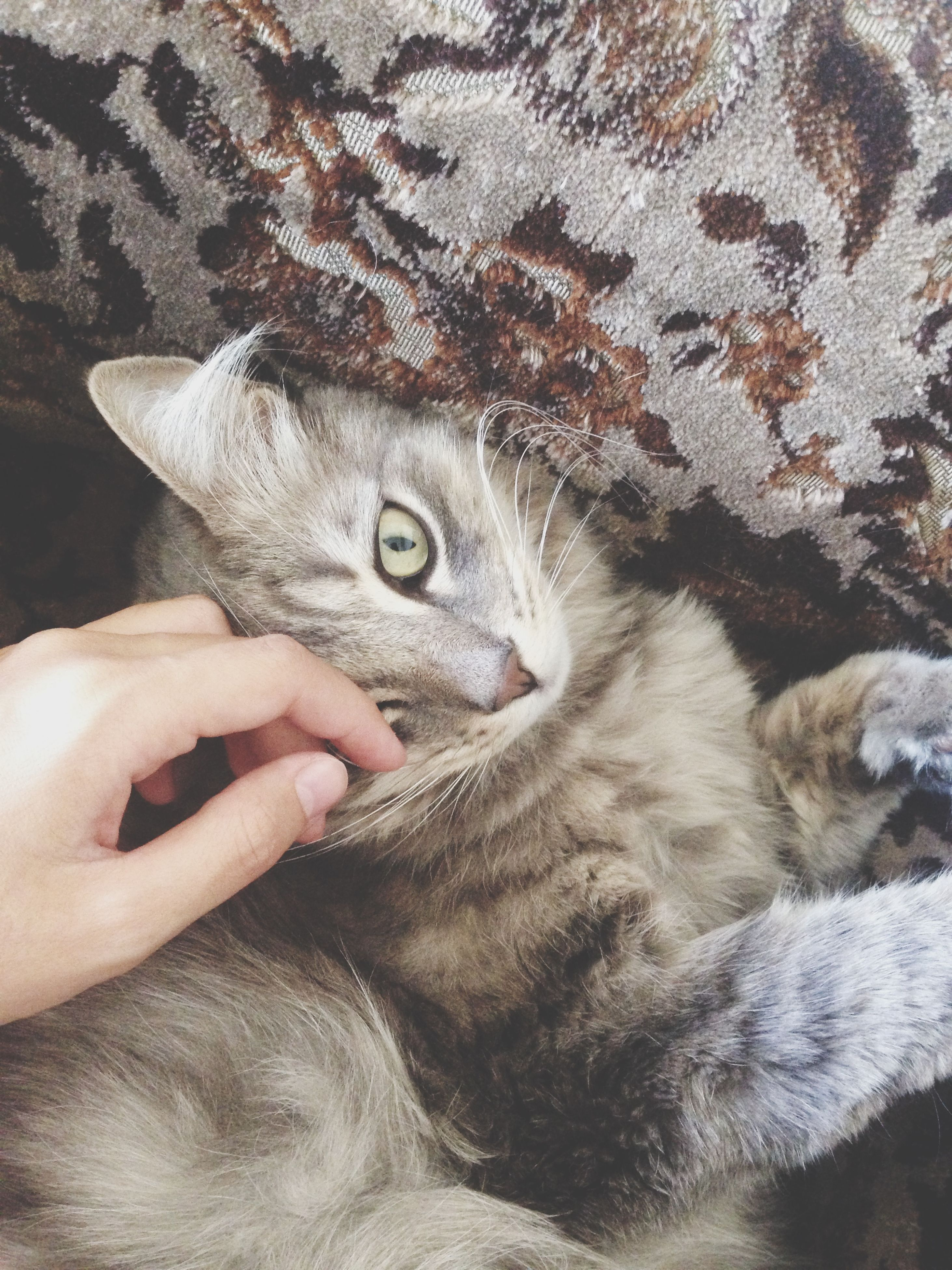 animal themes, one animal, domestic cat, person, pets, mammal, cat, domestic animals, part of, feline, whisker, cropped, unrecognizable person, holding, human finger, close-up, animal head