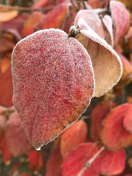 Frosty leaf Frost EyeEm Selects Growth Day Nature Red Outdoors Focus On Foreground Close-up Plant No People Beauty In Nature Freshness Fragility