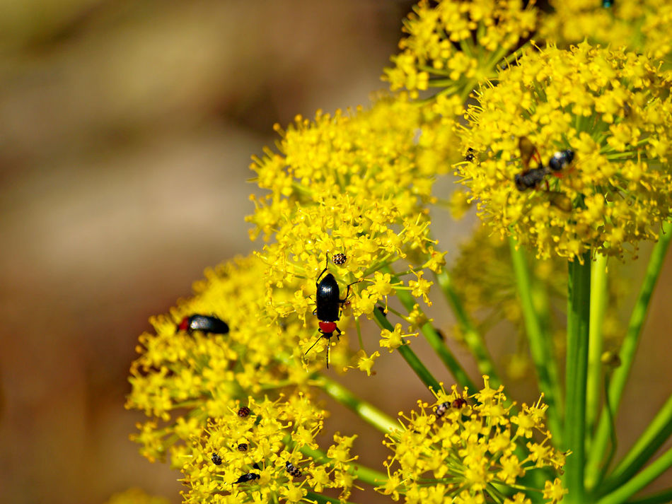 Animal Themes Animal Wildlife Animals In The Wild Beauty In Nature Blooming Close-up Day Deadly Carrot Flower Flower Head Focus On Foreground Fragility Freshness Growth Insect Nature No People One Animal Outdoors Petal Plant Pollination Thapsia Thapsia Villosa Yellow