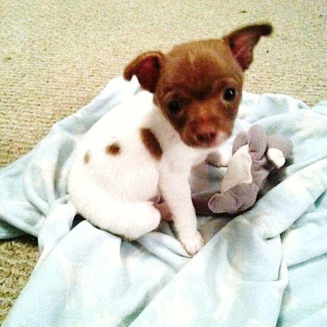 My Pup Chu'Cho @ 9 Weeks Old So Cute!!! So Adorable ☺ Smells Like A Teddy Bear So Soft